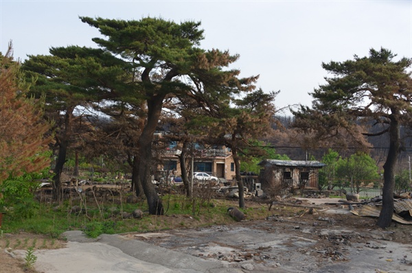 불에 탄 소나무들과 집