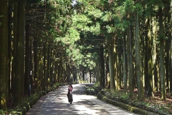 절물자연휴양림 삼나무 숲길 '삼울길'