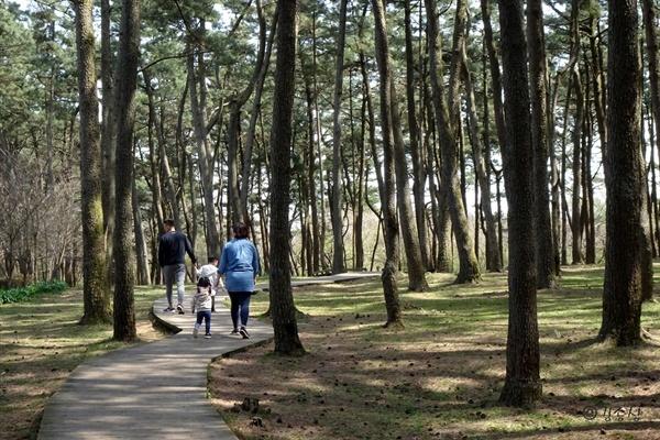 해송 혹은 곰솔 숲길.