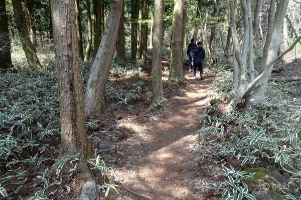 키 작은 야생 대나무 조릿대(혹은 산죽) 숲길.