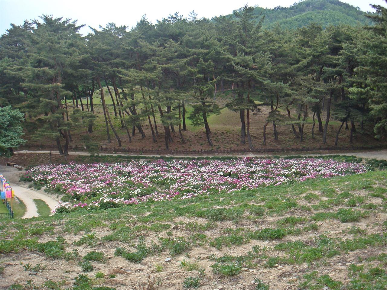 선도산 기슭 작약꽃이 활짝 핀 사이로 헌안왕릉과 문성왕릉의 모습이 보인다.