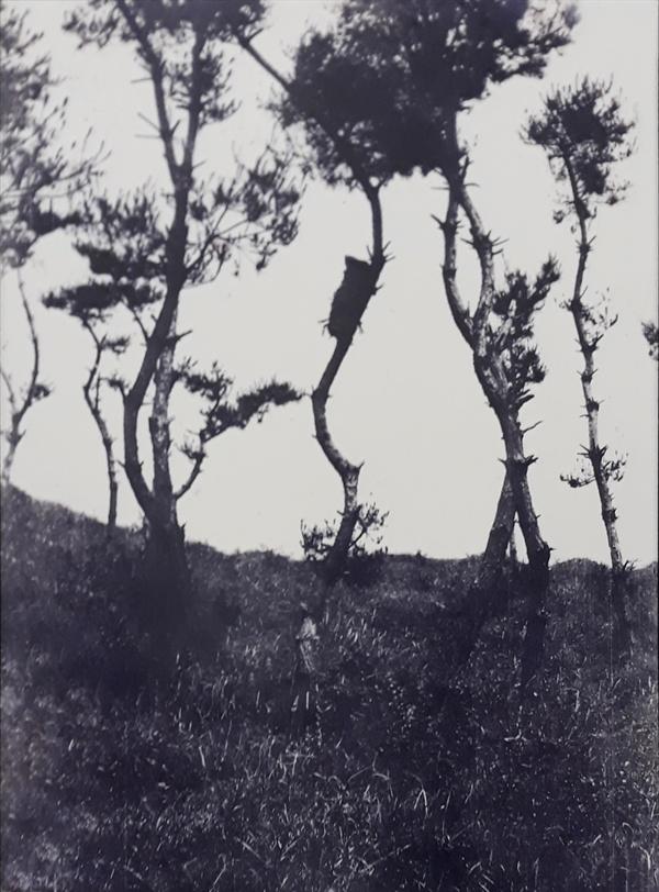 서해안 도서 지방에서 행해졌던 '수상장' 모습. 나뭇가지 중간에 시신을 싼 가마니가 보인다.