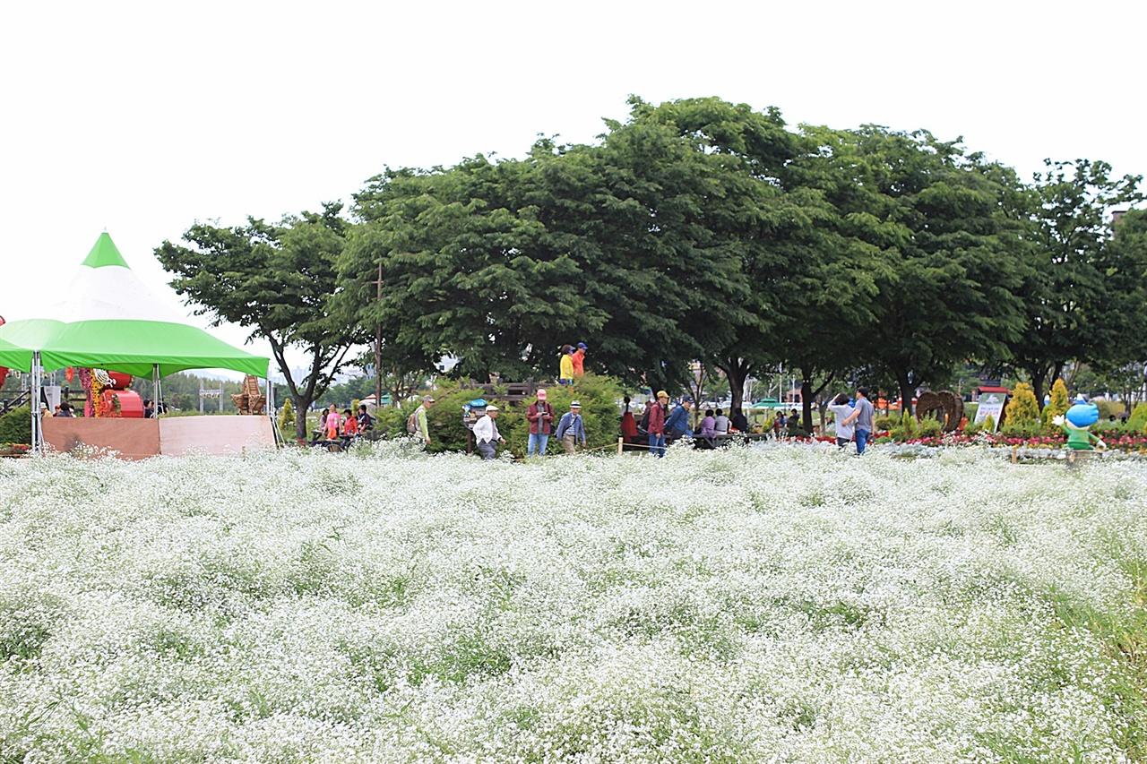 마치 흰 눈이 소복히 내린 모습의 울산 태화강 봄꽃 대향연 안개초 초화단지 모습