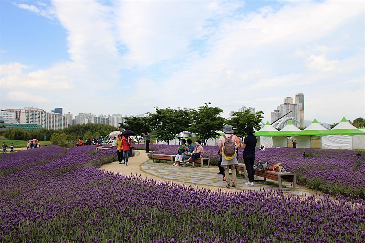 울산 태화강 봄꽃 대향연 향기정원 라벤더 모습