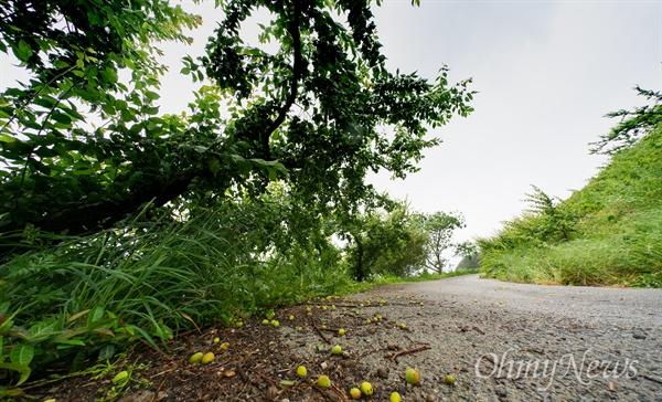 매실은 익기 시작하면 살짝 부는 바람에도 쉽게 떨어진다. 매실나무의 잎이 커지면서 부실한 매실을 떨어뜨리기도 한다. 이른 태풍이 닥치면 한 해 농사가 바람에 날아간다.