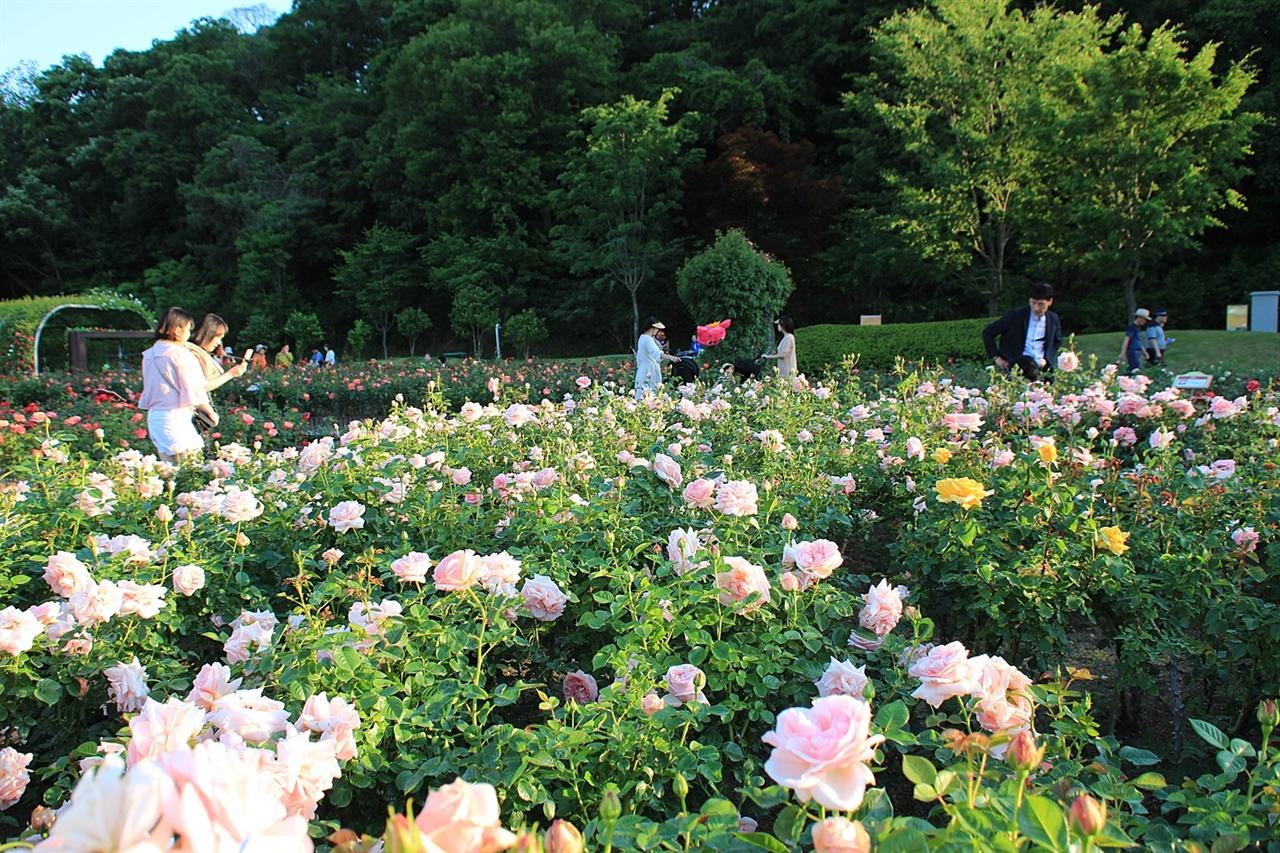 울산대공원  장미원에 있는 독일 장미 아프로디테 모습