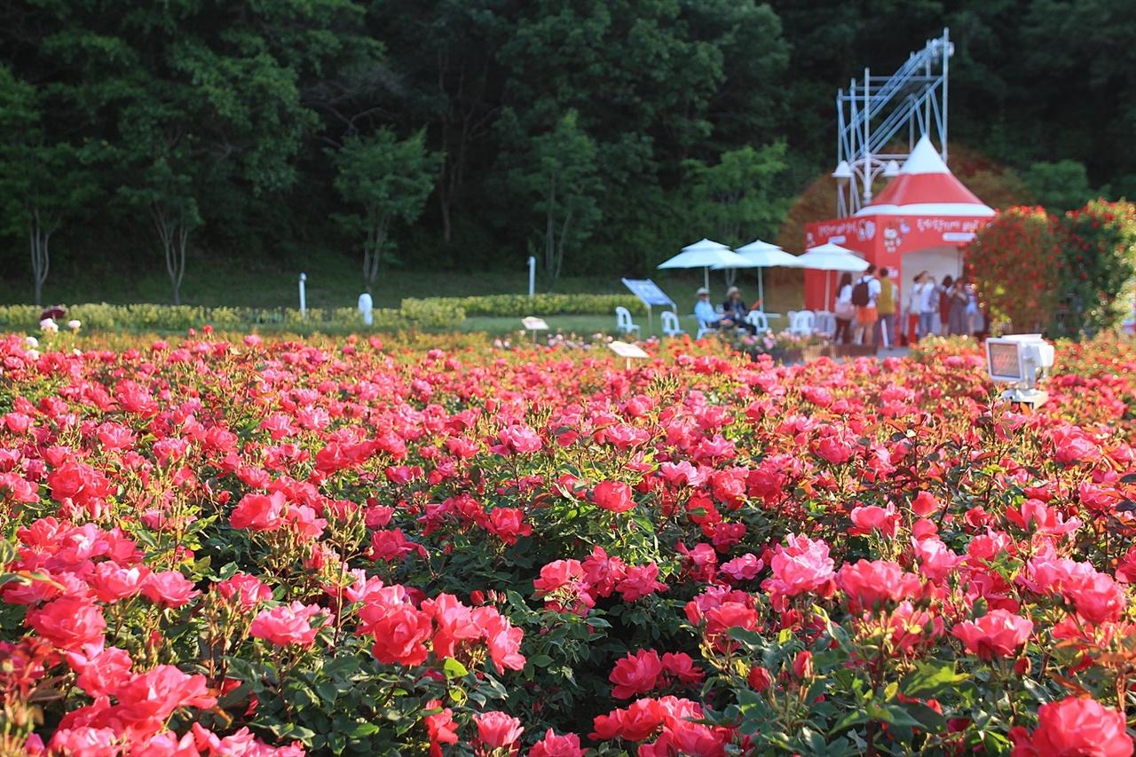 울산대공원 장미원에 있는 프랑스' 녹아웃' 장미 모습