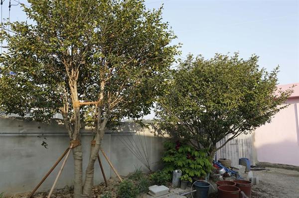 동백 파마 벽화의 배경이 된 애기동백나무. 손석심 할머니와 문병일 할아버지가 사는 집 안에서 본 풍경이다.