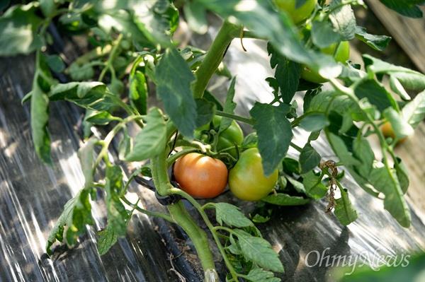 토마토의 품종은 수천 가지다. 색이나 모양에 따라 천차만별이다. 국내에 등록한 토마토 품종만 600종이 넘지만 유럽에서 도입한 품종이 대세다.