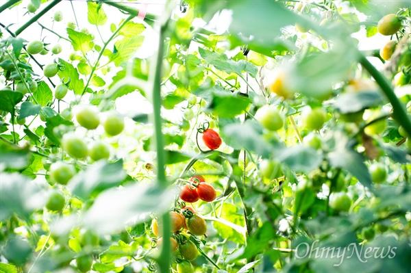 편리함만이 방울토마토의 매력은 아니다. 토마토보다 당도가 높고, 과육을 씹을 때 껍질이 상대적으로 얇아 먹는 맛이 있다.
