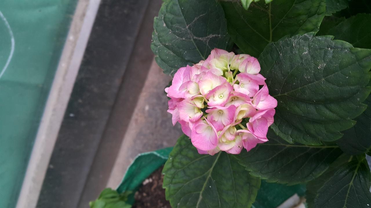 옹기종기 모인 꽃잎이 동그란 덩어리 꽃을 피운다. 활짝 피기 전이다.