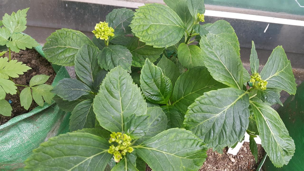 처음 꽃대가 올라올 때는 초록빛을 띤다. 6월이 되면 활짝 피어날 것이다.
