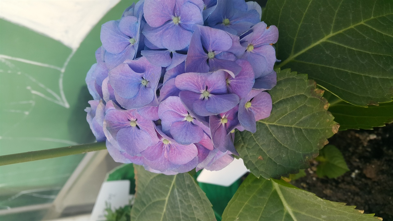 우리가 흔히 꽃잎이라고 부르는 것은 사실 꽃받침이다. 꽃받침 네 장 중간에 작은 매듭처럼 생긴 것이 진짜 꽃이다. 자세히 봐야 보인다.