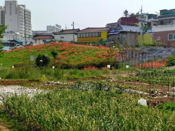 도심 속 꽃밭 도심 한가운데인 금창동 더러부지 위에 붉은 야생화가 한창 피었다.