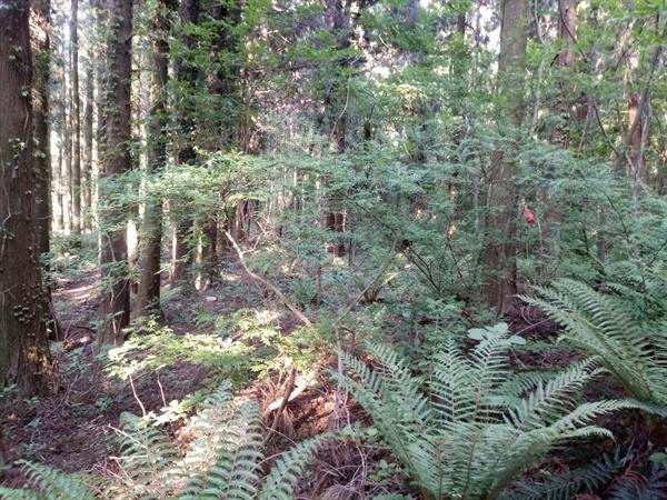 삼나무숲 아래에 사는 다양한 식물들 .