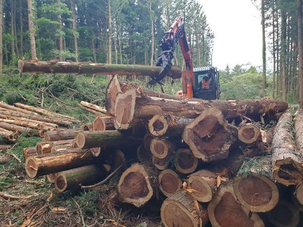 벌목된 삼나무들 .