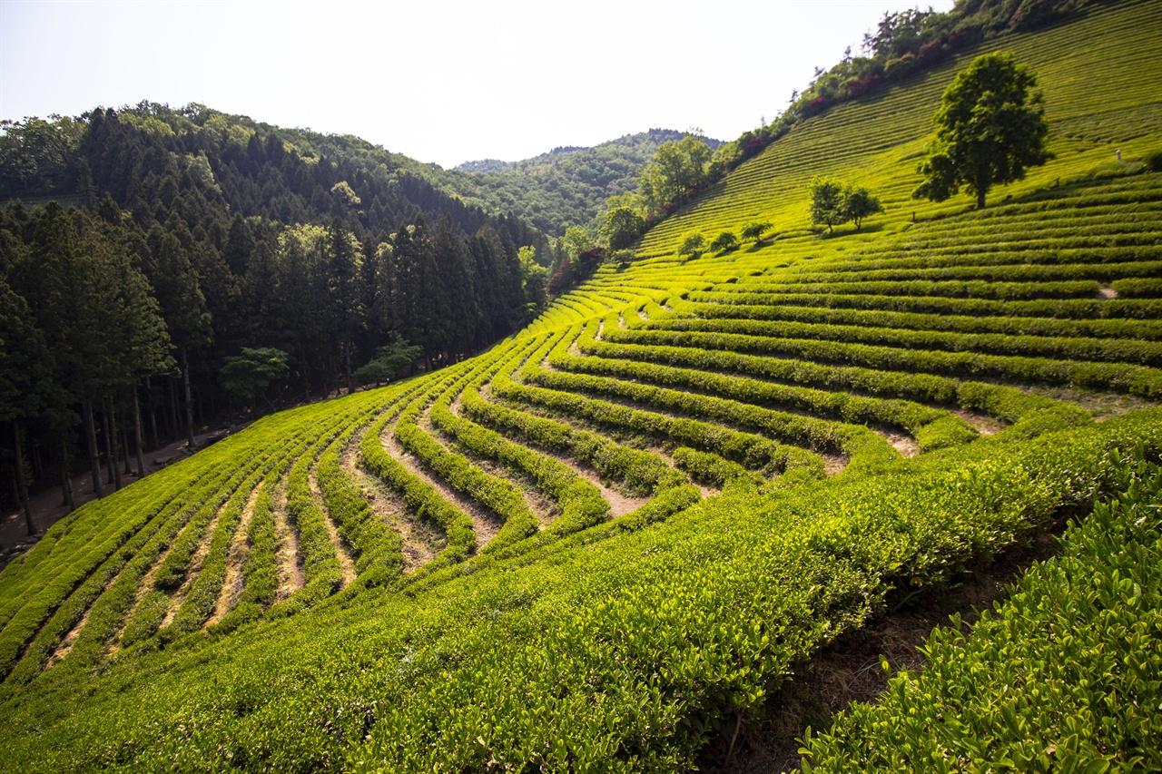 보성 녹차 밭은 산자수명 보성 녹차 밭은 우리나라 산자수명(山紫水明)을 그대로 담뿍 담은 곳이다. 짙푸른 차밭이 끝없이 펼쳐져 녹차의 천국 같다.