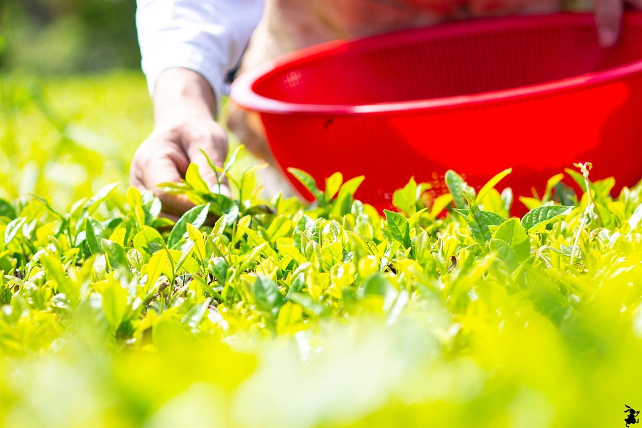 찻잎 따기 '채다'  먼저 녹차밭으로 가 어린 녹차잎을 땄다. 이 과정은 찻잎 따기 '채다' 이다. 이파리가 좀 크면 1창1기를 따고 잎이 보드러우며 1창2기를 따면 된다.