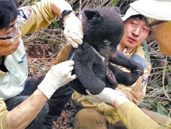 천연기념물 329호 반달가슴곰은 2000년 MBC 탐사팀이 설치한 무인카메라에 발견된 뒤 2004년부터 복원사업을 하고 있다.