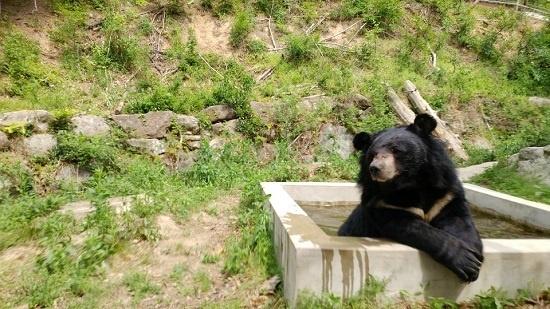 날씨가 더워지자 반달가슴곰 '반돌이'는 사과를 받아먹은 뒤 바로 물속으로 몸을 담궜다.
