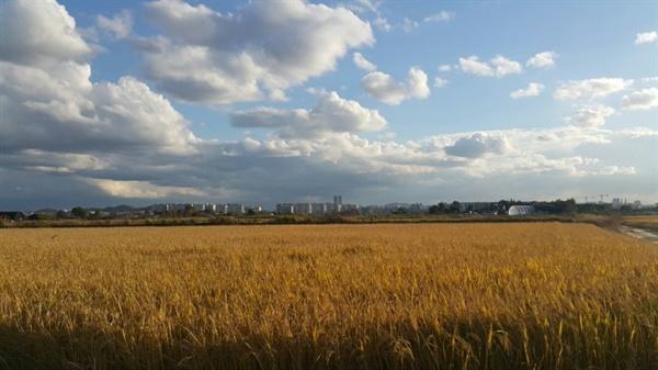 가을, 대장동 들판 황금빛 들판 위로 뭉게구름과 파란 하늘이 절모한 구도를 이루었다.