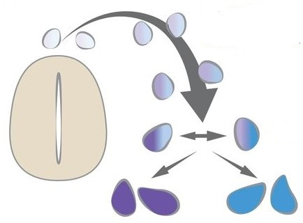 처음에 생성된 세포들(작은 알갱이 모양)은 특색이 없이 비슷하다.그러나 시간이 지나면서 서로 다른 특징들이 혼재하게 되다가, 결국 어느 한쪽을 선택하고 다른 쪽을 버리게 된다. 이렇게 해서 서로 다른 역할을 하는 세포들(그림에서 보라색과 하늘색)로 확연하게 나뉘게 된다.