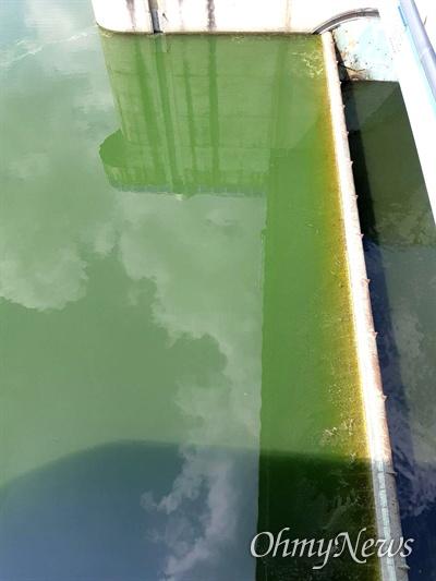 6월 중순 들어 발생하기 시작한 낙동강 창녕함안보의 녹조.