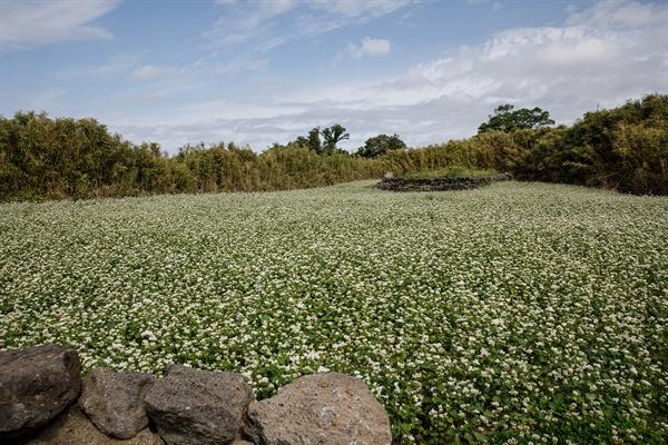 4.3 학살의 흔적이 남아있는 제주 무등이왓 마을 집터에 감자꽃이 피었다.