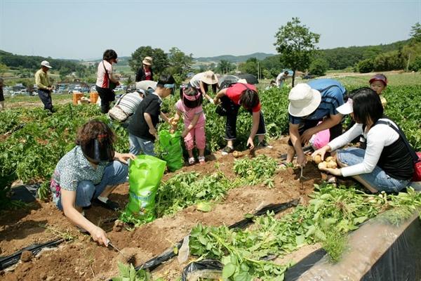 팔봉산 감자는 수분과 단백질, 비타민, 무기질 등의 함량이 높다. 그래서일까. 팔봉산 주변에는 430여 농가 230여 ha에서 연간 9500여 t의 감자가 생산되고 있다.
