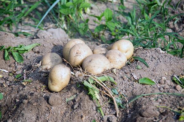 꼭 100일 만에 감자는 얼치기 농부 내외에게 왔다.