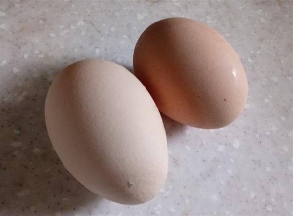 2개의 고환은 달걀 모양으로 생겼는데, 육안으로 식별될 만큼 보통 크기가 다르다. 사람의 경우 오른쪽 고환이 대부분 크다.