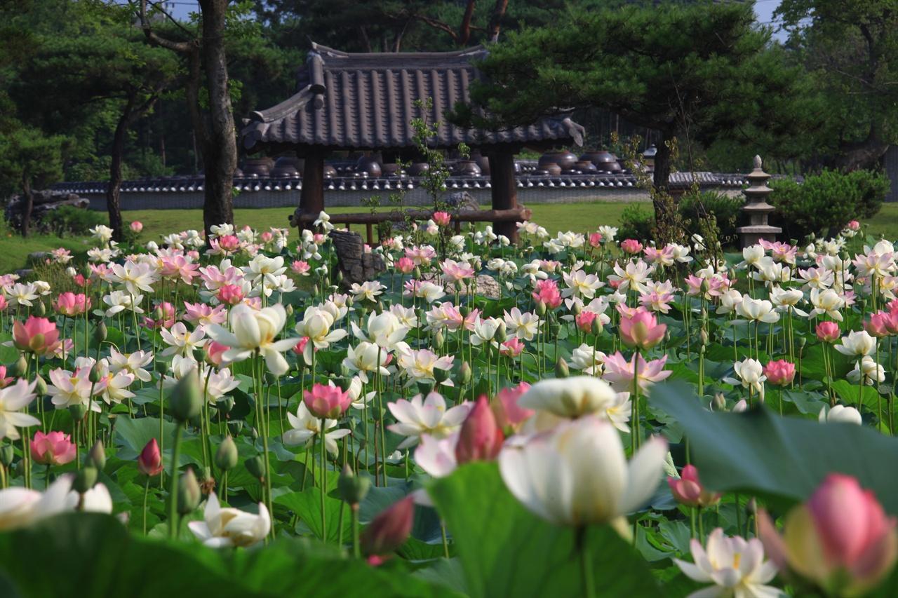 지난해 연꽃문화제 기간동안 활짝 핀 페리연꽃 모습