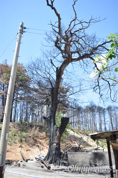 변 할머니 집터 옆에 있는 100년 넘은 밤나무도 다 타버렸다.
