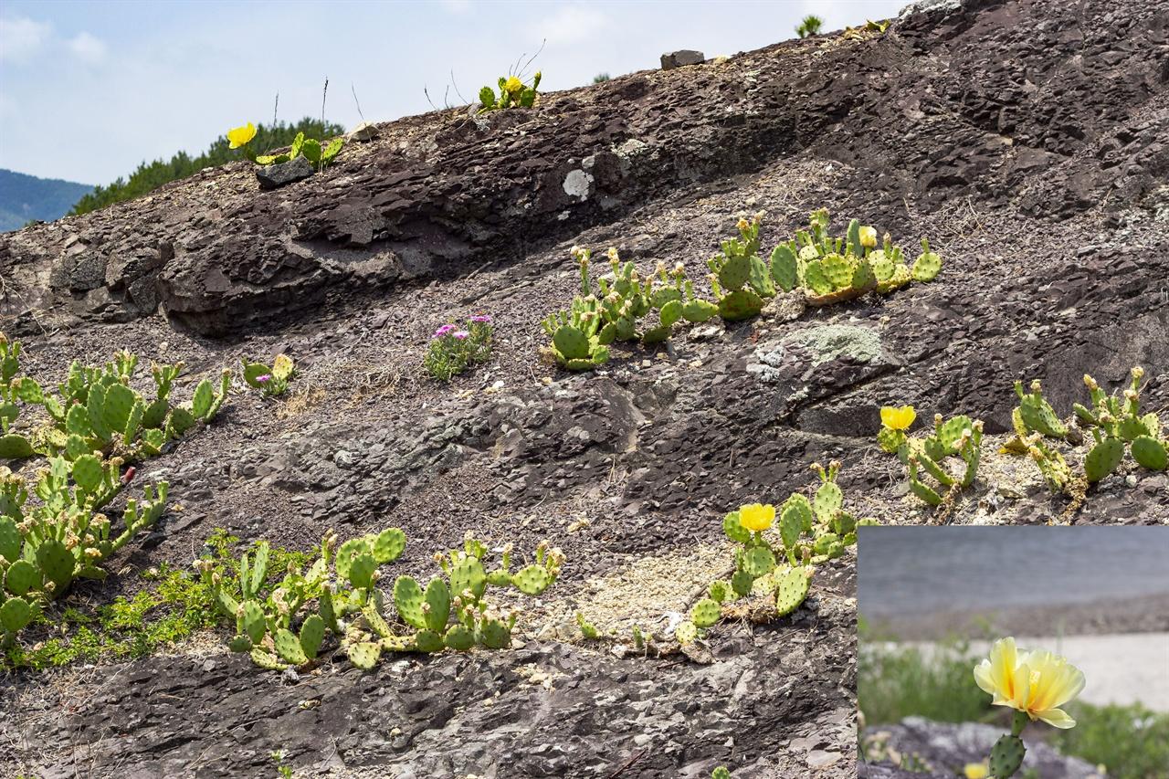 바위에 핀 노오란 선인장 꽃 마을로 향하던 중 제주도에서 본 손바닥 선인장들이 군데군데 보인다. 노오란 꽃을 함박 피웠다.
