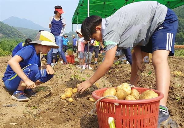 왕감자가 흙에서 쏟아져 나오네 지난 3월 28일 직접 심은 감자를 거두는 대가초등학교 어린이들이 왕감자 풍년에 신명이 났다.