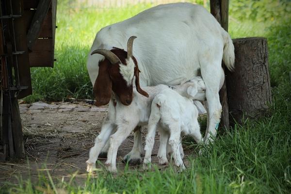 소설 속 제물인 염소는, 척박한 환경에서도 1년에 여러 번 임신할 수 있고 적게는 두 마리에서 많게는 다섯 마리의 새끼를 낳을 수 있다고 한다.