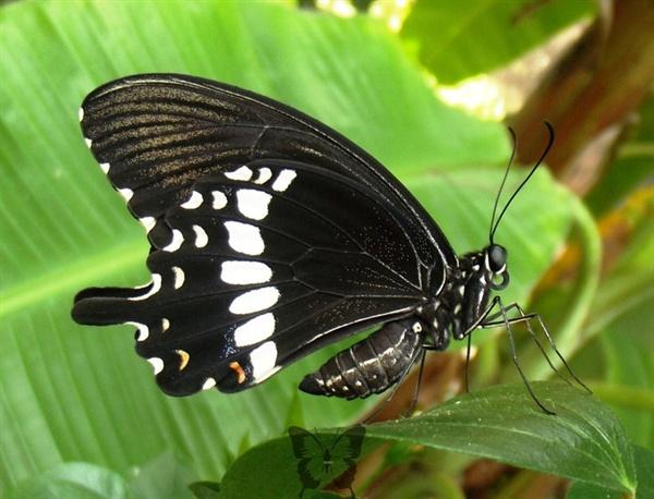 호랑나비 계통의 모르몬 나비 수컷. 암컷 가운데 한 종류는 수컷과 외모가 아주 흡사한 것들이 있다.