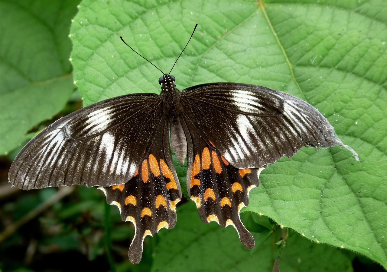 모르몬 나비 암컷. 오렌지 색 무늬가 눈에 띈다. 이처럼 화려한 색깔이 짝짓기에서 수컷을 눈을 끄는데 별 도움이 안되는 것으로 밝혀졌다.