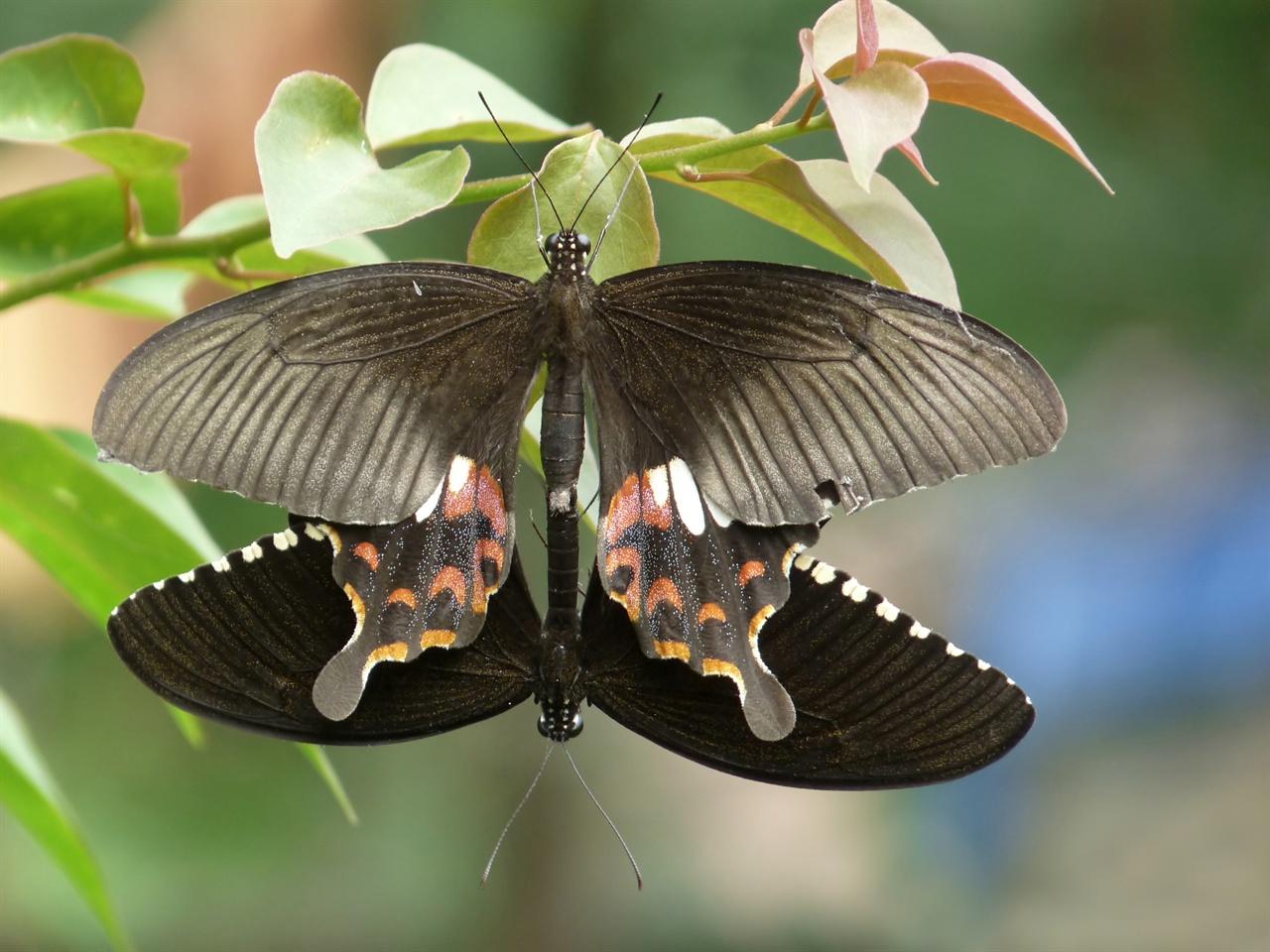 짝짓기 중인 모르몬 나비. 위쪽이 암컷이다. 호랑나비의 일종인 모르몬 나비 수컷은 암컷의 색깔에 끌리는 게 아니라 왕성한 활동력에 매력을 느끼는 것으로 드러났다.
