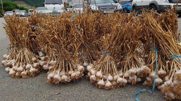 마늘 가격 폭락에도 불구하고 지난 11일 찾은 서산시 농업기술센터에서는 많은 농민들이 모여있었다. 이들은 올 가을 마늘농사를 위해 단단하고 저장성이 강한 서산 고유의 토종 마늘을 증식하기 위해 분양받고 있었다.