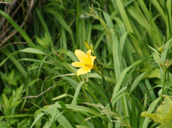 한여름 노고단을 황금빛으로 물들일 원추리꽃