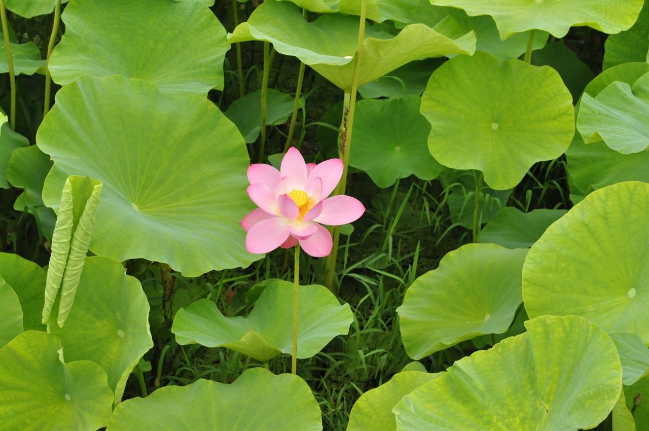 함안박물관에서 만난 아라홍련. 700년이라는 세월을 건너뛰면서 지금의  다양한 연꽃으로 분화되기 이전 본래의 모습을 그대로 간직하고 있어 우리나라 고유 전통 연꽃의 특징을 확인시켜준다.