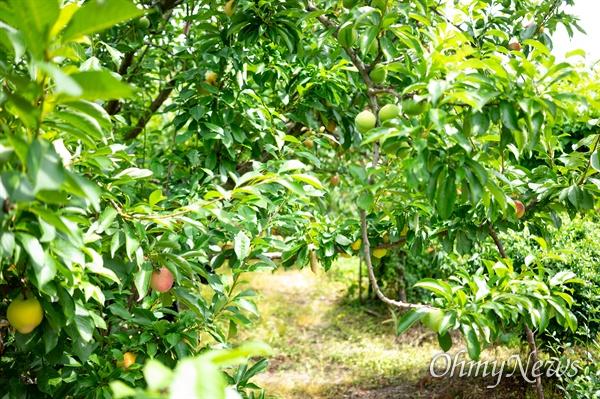 자두 맛을 보러 간 경북 경산의 포모사 자두나무 주변에 몇 그루의 추희 자두가 꽃가루를 위해 심은 나무인 '수분수'로 심어져 있었다.
