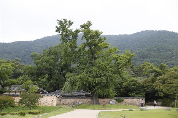 은행나무 고목과 어우러진 녹우당 풍경. 전라남도 해남군 해남읍 연동마을에 자리하고 있다.