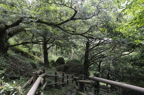 녹우당 뒷산 중턱에서 만나는 비자나무 숲. 오래 된 비자나무가 한데 어우러져 숲을 이루고 있다.