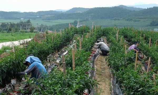 밭에서 마을주민들이 함께 일을 하고 있다. 선애마을 주민들은 농작물 재배를 통해 공동의 수익을 마련하려고 애를 쓰고 있다.