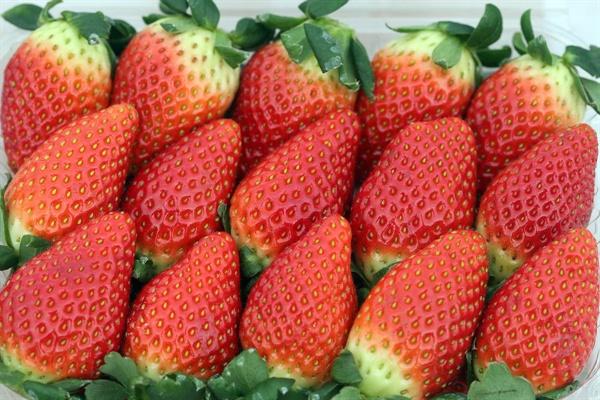 """2017년 1월 23일 담양군 농업기술센터를 방문한 이낙연 총리는 """"딸기가 아삭하다, 실감이 나십니까? 딸기에서 사과 향기가 난다, 믿으시겠습니까? 사실입니다. 그런 딸기가 시판되고 있습니다. 죽향. 담양군 농업기술센터가 개발한 국산 종자입니다""""라면서 죽향 사진을 트위터에 올렸다."""