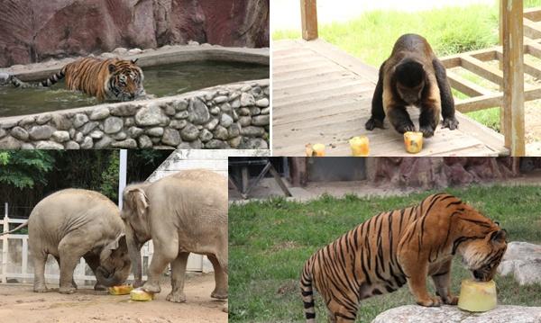 얼음고기, 얼음과자, 냉수샤워로 여름나기를 하고 있는 우치동물원의 동물들.