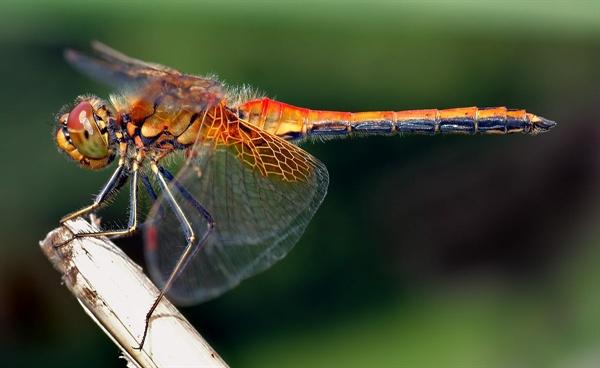 고추 잠자리. 작고 빠른 모기나 파리 같은 곤충을 사냥하는 성공률이 90% 안팎에 이를 정도로 높다. 요격 미사일을 연구하는 군사 과학자들이 모기의 사냥에 주목하는 이유이다.