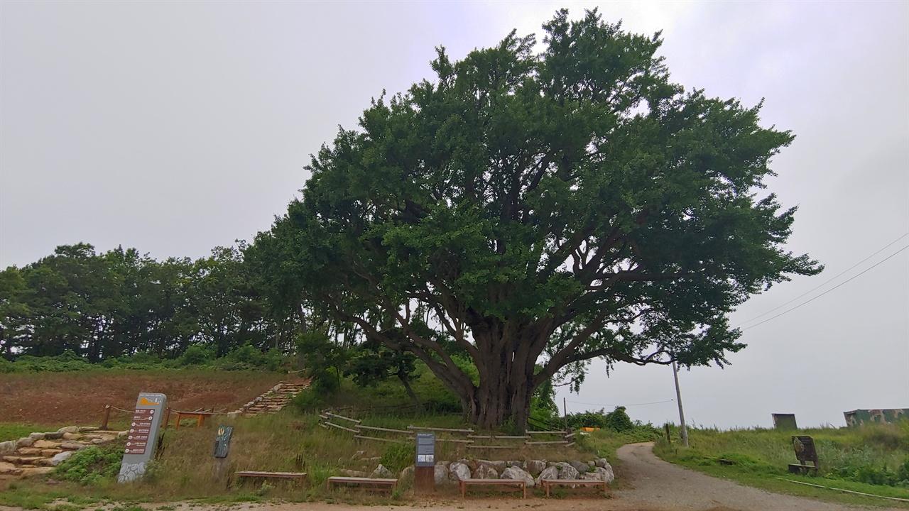 볼음도 은행나무.  수령 800년 이상으로 천연기념물 304호로 지정 보호되고 있다.